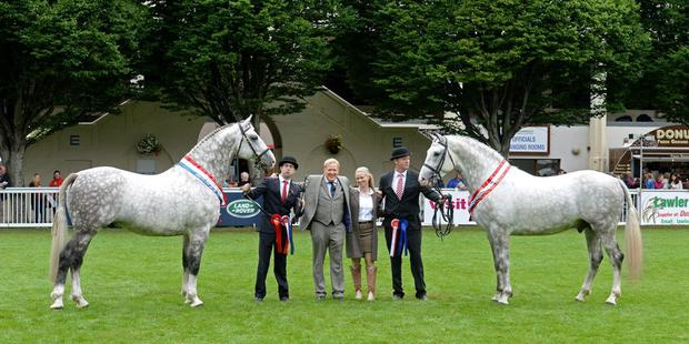 Jimmy and Edel Quinn (centre) with their Irish Draught champion Cappa Cassanova (on left, shown by Seamus Sloyan) and reserve champion Cappa Aristocrat, shown by John Keane.