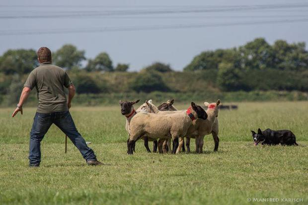 Masterful: It is a pleasure to watch a Border Collie herd sheep