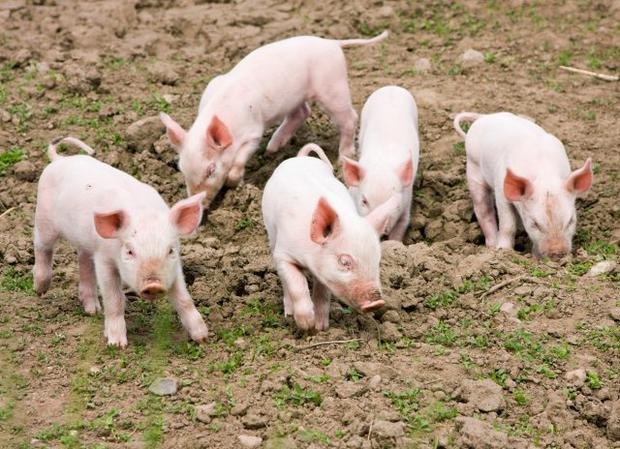 Growing human transplant organs in pigs has become a more realistic prospect (Stock image)