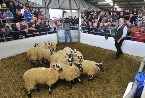 Tom Staunton with his pen of lambs at the Mayo Mule & Greyface Group sale in Ballinrobe last Friday. Photo: Conor McKeown