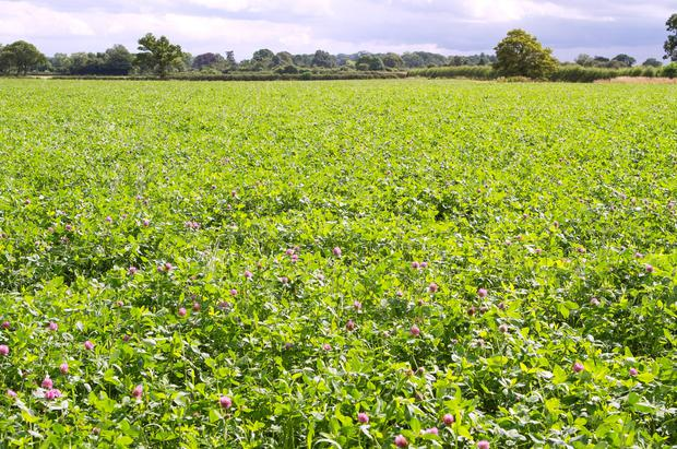 Red clover fixes the equivalent of 200kg/ha of nitrogen annually.