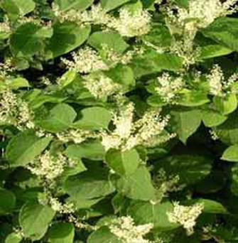 Invasion species: Japanese knotweed