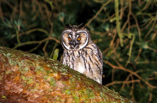 Local populations of Long-eared Owls have been threatened by increased rodenticide use