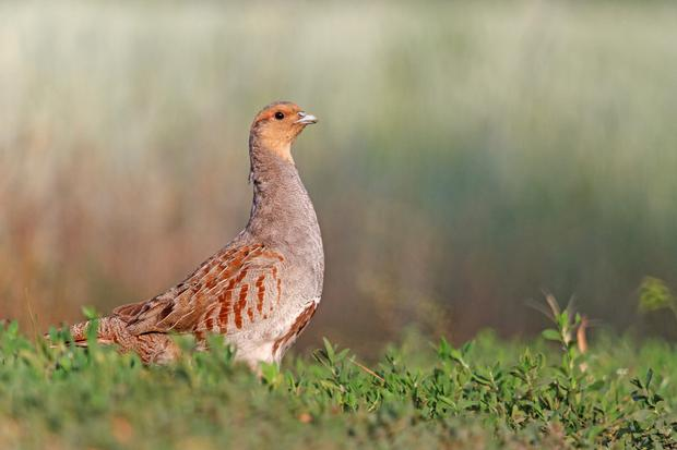 Over 500 farmers in two areas in Offaly and Dublin identified as Grey Partridge zones will find GLAS 2 much more flexible