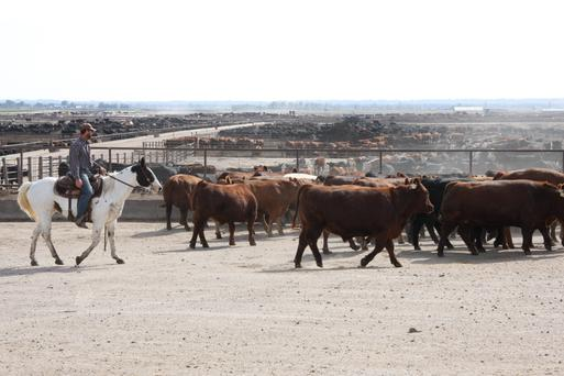 Cattle as far as the eye can see in the beef state of Nebraska