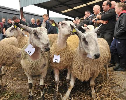 Some of the ram lambs that were on show at a South of Ireland Blueface Leicester Sale in Ballinrobe. Photo: Conor McKeown.