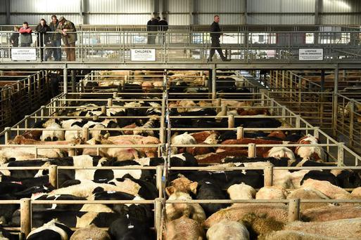 A view over the packed cattle pens last week in Cillin Hill Mart Kilkenny. Photo: Roger Jones.