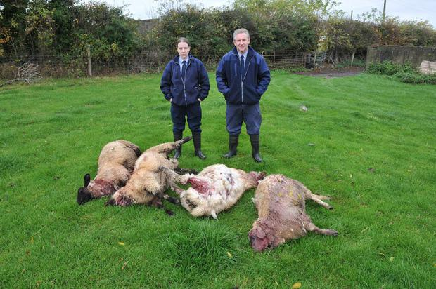 Dog Wardens Aisling Byrne of the Carlow branch and Michael Morrissey of Kilkenny Branch inspect the recent sheep kill near Goresbridge. Photo: Roger Jones.