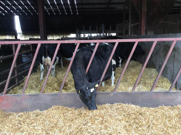 Dry cows need good, clean facilities with adequate feeding space to ensure a healthy transition to the milking phase after calving