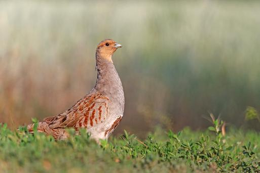 Grey Partridge are protected under the environmental initiative