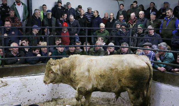 Farmers gather for cattle sales at Milford Mart in Co Donegal
