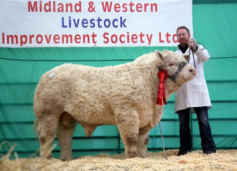 The top Charolais bull at Carrick-on-Shannon show. Photo: Tricia Kennedy