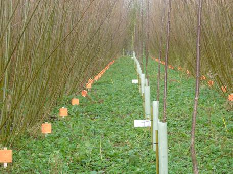 The AgroCop project investigates the potential of using land to produce coppiced willow together with high value hardwood trees such as wild cherry