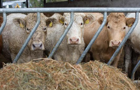 Sucklers well stocked up on the Cass farm, Abbeyleix, Co Laois. Picture: Alf Harvey/HRPhoto.ie