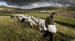 The Shepherd's Life author James Rebanks on his sheep farm in the Lake District, England. Photo: Christopher Thomond.