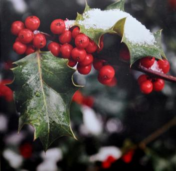 Hardy: the Holly crop