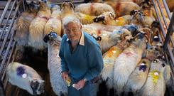 Michael Harrrington, Castletownbere, Co Cork, tagging his Scotch sheep at Kenmare Mart. Photo: Valerie O'Sullivan