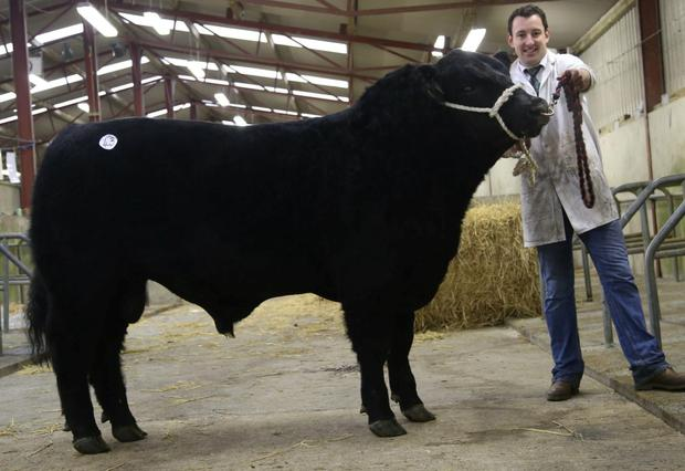 The highest priced bull, Laheens Larry 399, was exhibited by Cormac Duignan and sold for €6,400