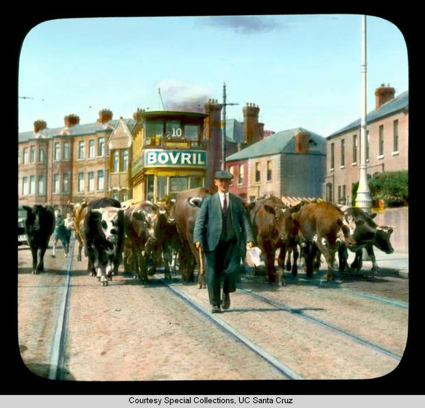 This colourised photograph from the 1930s shows a drover leading cattle along the North Circular Road. Photo from Special Collections at University of California, Santa Cruz
