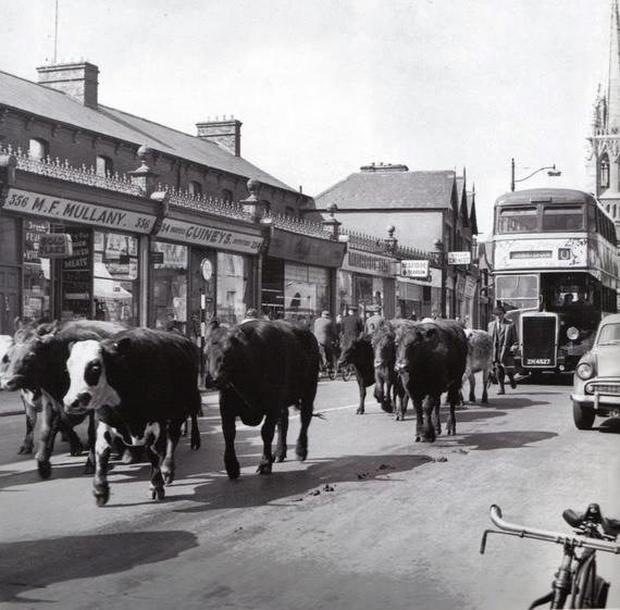 Cattle being driven down the North Circular Road from the Dublin Livestock Market
