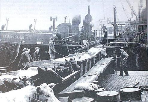 Cattle being loaded at Dublin Port for export to Britain