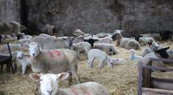 Ewes have been housed since mid-December. File photo.