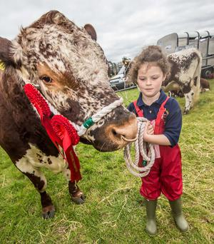 Beth McConnell (8) from Donegal with Macmann Bullagh Bos an Irish Moiled bull during the Tullamore National Livestock Show. Photo: Pat Moore.