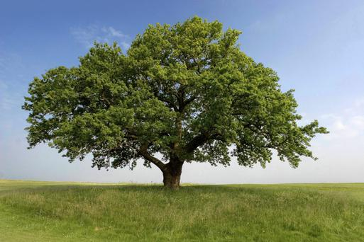 The least we can do is to keep replacing the fine old trees on Irish farms