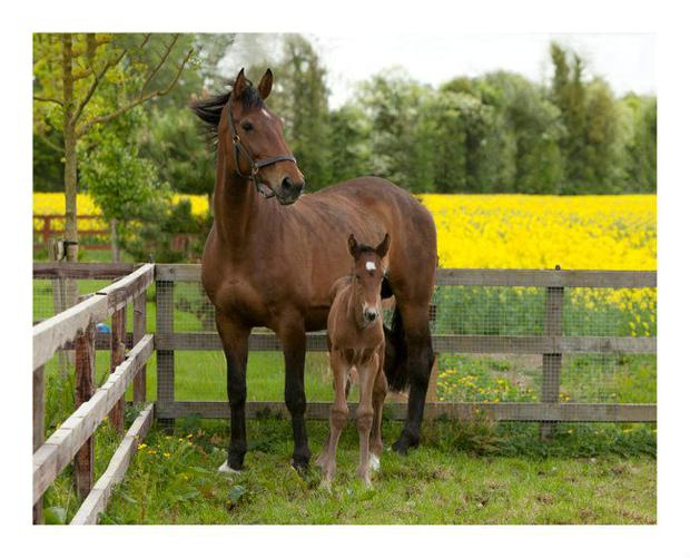 Geraldine Hendricken's mare Vesper with her first foal by the thoroughbred Rajj