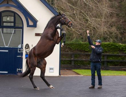 Camelot has a spring in his step at Coolmore Stud.