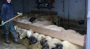 Michael Duffy feeding the sheep on his farm in Donegal.