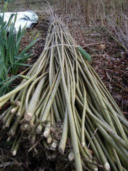 Willow rods help prevent bacterial infection.