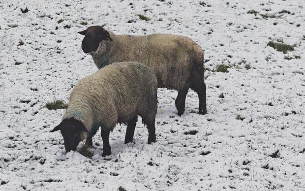 Sheep forage for nourishment following a snowfall in Farnham, Cavan. Photo: Lorraine Teevan