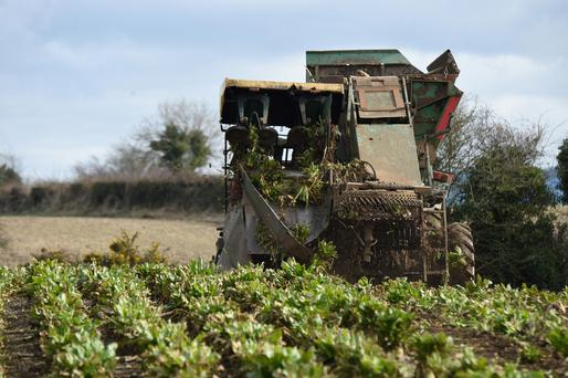Vincent Hughes from Ballinkillen, Co Carlow took advantage of the recent dry spell to pull fodder beet for farmer Paddy Brennan. Roger Jones.
