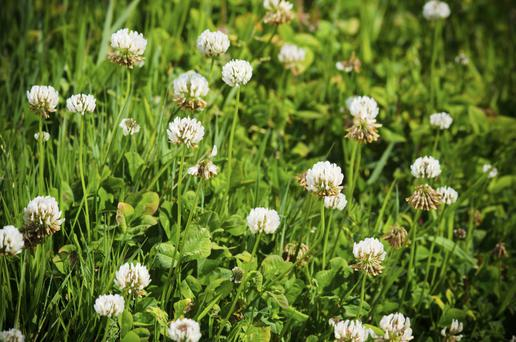 Clover has been abandoned by many farmers.