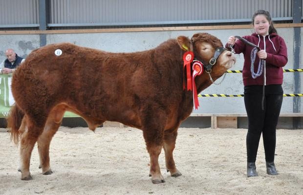 Megan Searson, Sheehills, Roscrea with Sheehills Jumbo Overall Champion at the Irish Limousin Bull Show and Sale at Tullamore on Saturday.