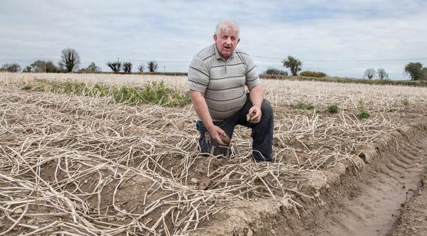 Willie Lenane in his field of ruined potatoes. Photo: Sean Byrne