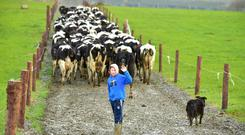 Young Tim Brennan from Dungarvan , Co Kilkenny seen here with his dog bringing the130 cows in for the milking. Photo: Roger Jones.
