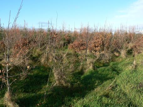 Vegetation control is essential to allow young saplings to grow quickly and strongly