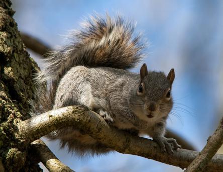 Grey squirrels are very active this spring, causing seasonal damage to broadleaf trees.