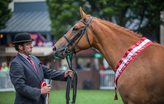 Michael Lyons exhibiting Cyril Conway's young horse Grove Hill Boy at the RDS in 2014.