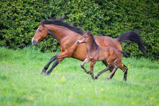 Laura Snow's orphaned sport horse foal by Cobra with his new foster mother, a thoroughbred mare who had lost her foal in an accident