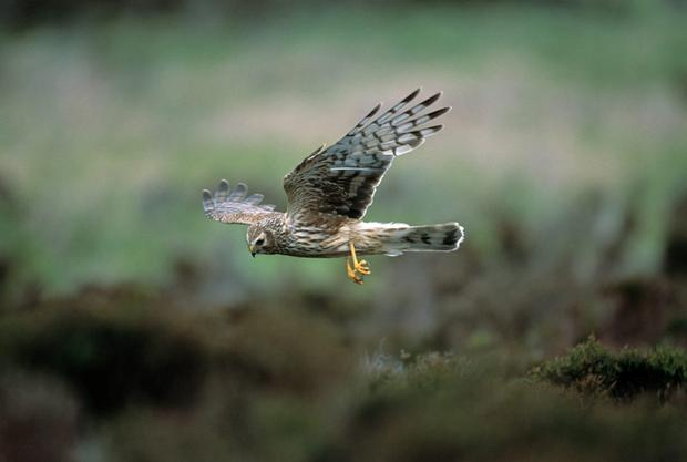 3,860 farmers have had land designated as a special protection area (SPA) for the endangered hen harrier