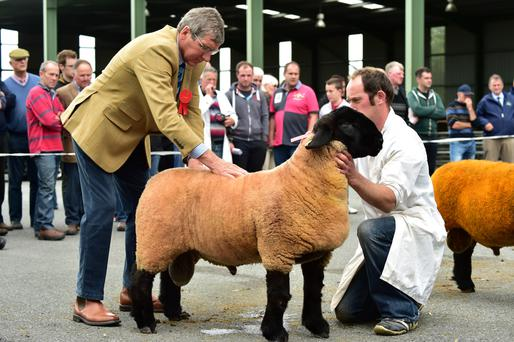 Judge Mr Ronnie Black inspects the ram lamb owned by Shaun Gahan Borris, Co Carlow. Photo: Roger Jones.