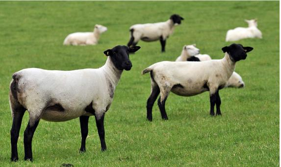 Suffolk and Texel imports from New Zealand on the Teagasc farm in Athenry - the widespread use of genomics by New Zealand sheep producers is driving an annual rate of genetic improvement that is three times the norm here.