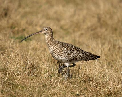 Curlews are making a comeback in Westmeath