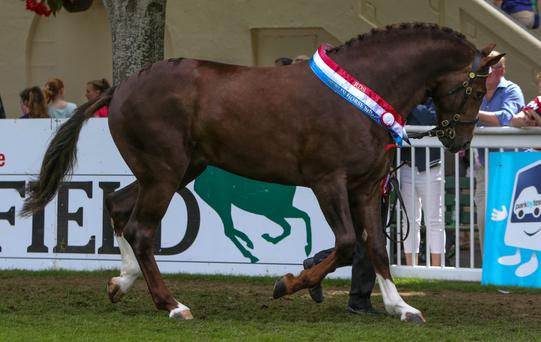 Champion Irish Draught stallion Carrabawn Cross