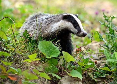 Badgers can cover large distances