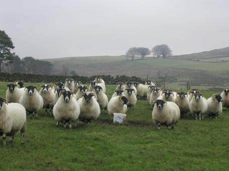The highest concentration of sheep numbers is in counties along the western seaboard and in the uplands along the east coast