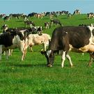 The cows have grazed the fields tightly. Stock Photo